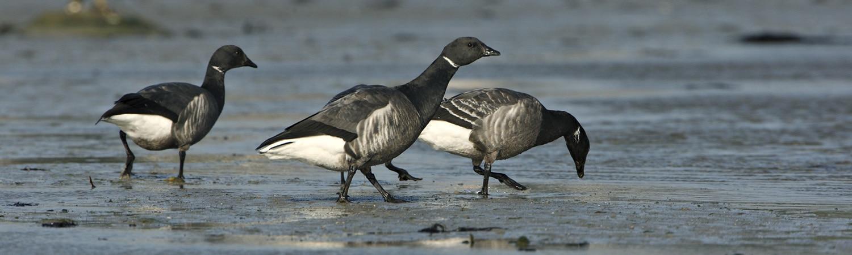 Les oiseaux hivernants de l\'île de Boëde - Réserve naturelle des ...